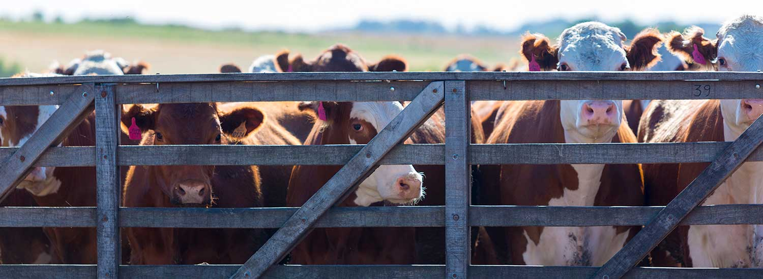 A small herd of cows inside a fence.