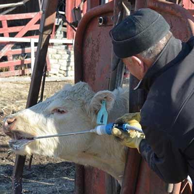 A farmer giving a cow medicine.