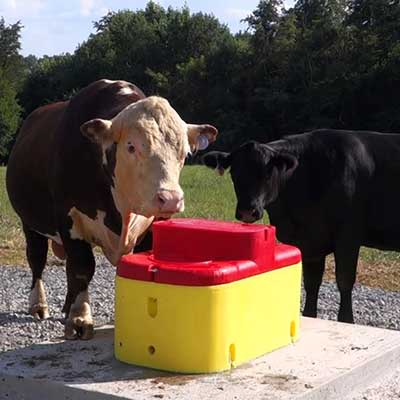Two cows standing around.