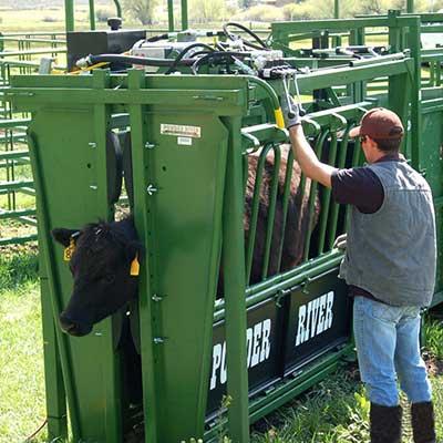 A cow in a Hugging Machine.