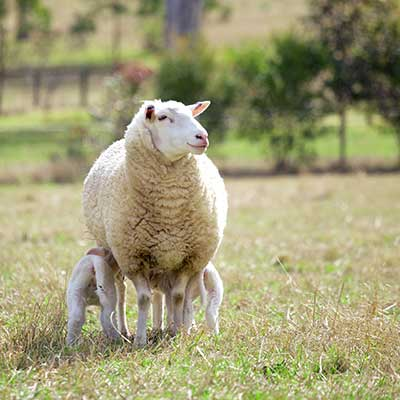 A sheep with her calf in a field.